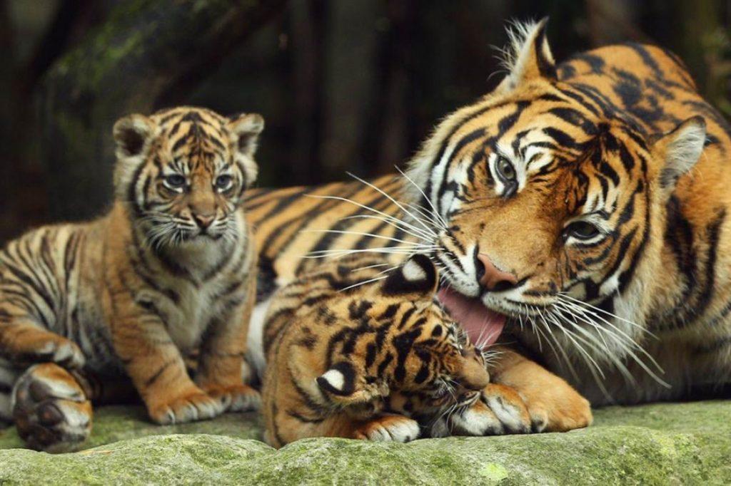 Tigers at Disney