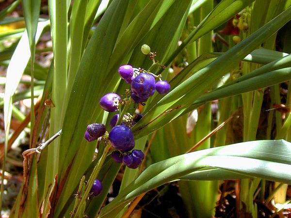 Disney's Aulani Resort plants and gardens 'uki'uki