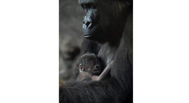 Animal Kingdom Baby Gorilla
