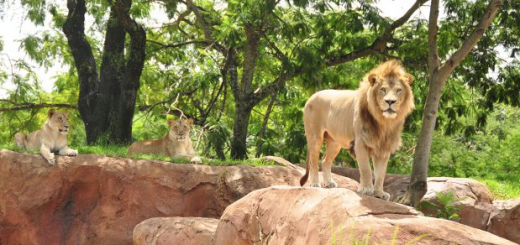 All About Disney's Lions