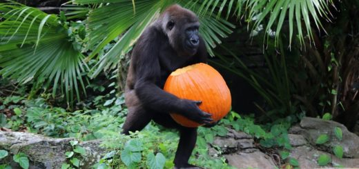 Animals Playing with Pumpkins