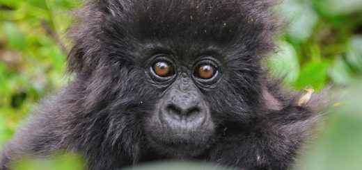 Gorilla Giving Tuesday